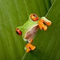 Costa_Rica_Tree-Frog