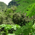 Sisserou parrot hides in Caribbean rainforest on Dominica
