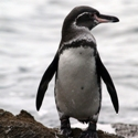 Galapagos Penguin South America