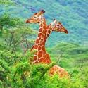Kenya Africa giraffes Been There