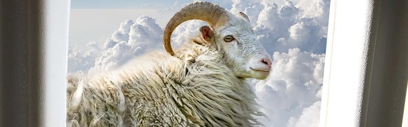 Sheep outside plane window