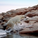 Polar Bear Hudson Bay Canada Canadian Arctic Been There