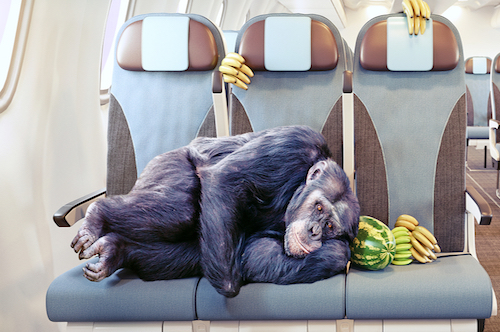 Animals on Airplanes Monkeys