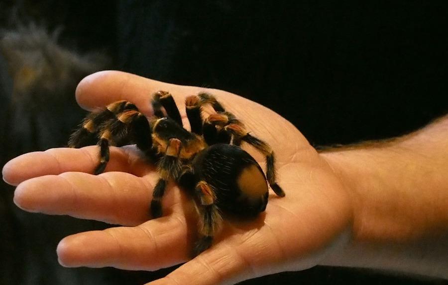 Animals on airplanes tarantula
